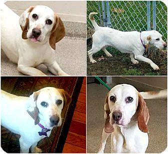 Beagle Puppy for adoption in Findlay, Ohio - JOSIE