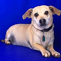 Dachshund Mix Dog for adoption in Show Low, Arizona - Buffy