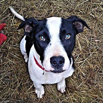Labrador Retriever/Pit Bull Terrier Mix Dog for adoption in Petersburg, Virginia - Winchester