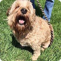 Adopt A Pet :: Bear - New Canaan, CT