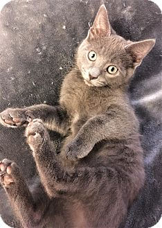 Russian Blue Kitten for adoption in Chattanooga, Tennessee - Bo