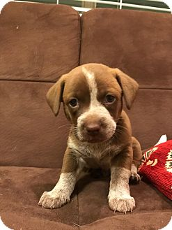 Chihuahua Mix Puppy for adoption in Garland, Texas - Mona