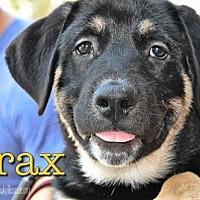 Adopt A Pet :: Drax - Carrollton, TX