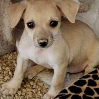 Adopt A Pet :: AV's Peter Pan - Las Vegas, NV