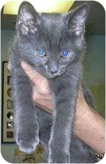 Russian Blue Kitten for adoption in West Warwick, Rhode Island - Lovie