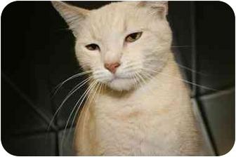 Domestic Shorthair Cat for adoption in Saint Charles, Missouri - Fuzz