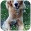Photo 1 - Golden Retriever Mix Dog for adoption in Owatonna, Minnesota - Blaze