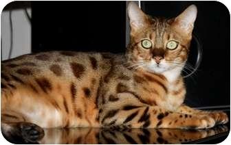 Bengal Cat for adoption in Davis, California - Sublime