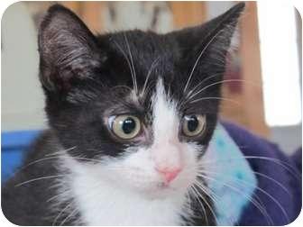 Domestic Shorthair Kitten for adoption in Long Beach, New York - Tennessee