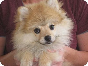 Pomeranian Puppy for adoption in Salem, New Hampshire - Butterball