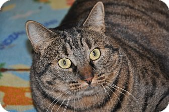 Domestic Shorthair Cat for adoption in Foothill Ranch, California - Chrystal