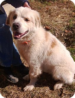 Great Pyrenees Mix Dog for adoption in Villa Hills, Kentucky - Beau