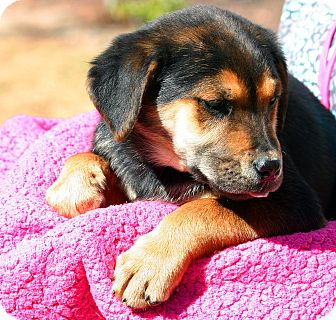 Collie/Hound (Unknown Type) Mix Puppy for adoption in Pinehurst, North Carolina - Guiness