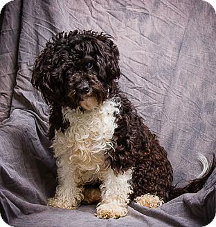 Poodle (Miniature) Dog for adoption in Anna, Illinois - OPIE