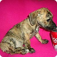 Adopt A Pet :: Tiger - Spring Valley, NY
