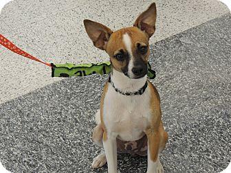 Rat Terrier Mix Dog for adoption in Wichita Falls, Texas - Spock