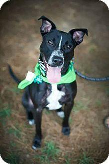 Cattle Dog/Labrador Retriever Mix Dog for adoption in Alpharetta, Georgia - Freckles