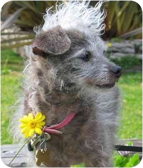 Poodle (Toy or Tea Cup)/Chihuahua Mix Dog for adoption in El Segundo, California - Dawn