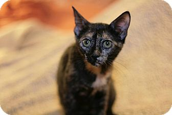 American Shorthair Cat for adoption in Raleigh, North Carolina - Hope