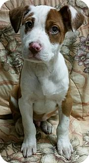 American Pit Bull Terrier Puppy for adoption in Struthers, Ohio - Cyber  3 MTHS OLD