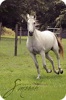 Tennessee Walking Horse Mix for adoption in Cantonment, Florida - Glitter