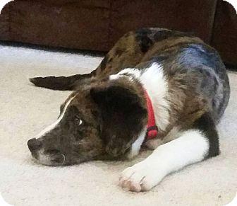 Australian Shepherd/Basset Hound Mix Puppy for adoption in Knoxville, Tennessee - Bruno