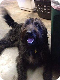 Labradoodle Dog for adoption in Ypsilanti, Michigan - Winter ADOPTION PENDING