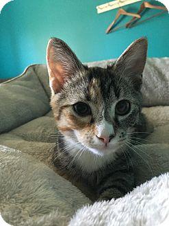 Calico Kitten for adoption in LaGrange, Kentucky - Parrot
