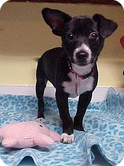 Chihuahua/Terrier (Unknown Type, Small) Mix Puppy for adoption in Dahlgren, Virginia - Pete - 7 lbs