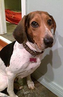 Coonhound Mix Dog for adoption in Blue Ridge, Georgia - Hannah