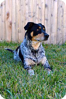 Australian Cattle Dog Mix Dog for adoption in Colorado Springs, Colorado - PIPER