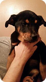 Shepherd (Unknown Type)/Catahoula Leopard Dog Mix Puppy for adoption in Tucson, Arizona - Estee