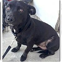 Adopt A Pet :: Lola needs love - Sacramento, CA