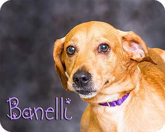 Terrier (Unknown Type, Medium) Mix Dog for adoption in Somerset, Pennsylvania - Banelli