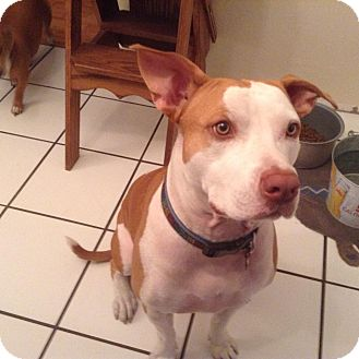 Pit Bull Terrier Mix Dog for adoption in Ormond Beach, Florida - Lucky