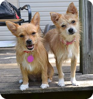 Terrier (Unknown Type, Small)/Chihuahua Mix Dog for adoption in Westport, Connecticut - *Tia & Tamara - PENDING