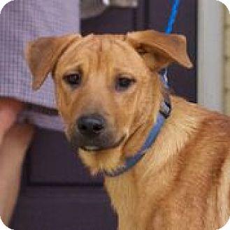Labrador Retriever/Shepherd (Unknown Type) Mix Dog for adoption in Hagerstown, Maryland - Wrangler