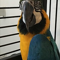Macaw for adoption in Punta Gorda, Florida - Max