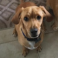 Dachshund Mix Dog for adoption in San Clemente, California - Copper