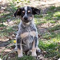 Adopt A Pet :: Shaggydog - Millersville, MD
