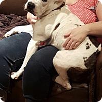 Adopt A Pet :: Buddy - Garland, TX