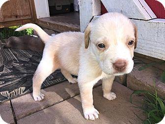 St. Bernard Mix Puppy for adoption in Gallatin, Tennessee - Spumoni