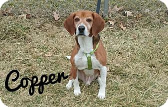 Beagle Dog for adoption in Kendallville, Indiana - Copper