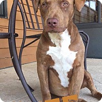 Labrador Retriever/Pit Bull Terrier Mix Puppy for adoption in Cantonment, Florida - Tuff