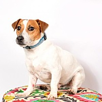 Jack Russell Terrier Dog for adoption in St. Louis Park, Minnesota - Vegas-FOSTER HOME NEEDED