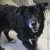 Adopt A Pet :: Shoshone - San Francisco, CA