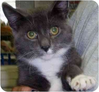 Domestic Shorthair Cat for adoption in Princeton, Indiana - Jinx