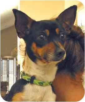 Toy Fox Terrier/Chihuahua Mix Dog for adoption in Encino, California - JENNY