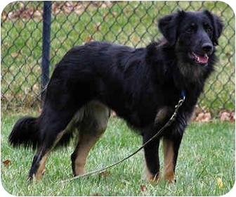 Border Collie Dog for adoption in Bellevue, Nebraska - Geileis