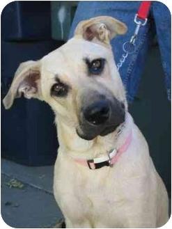Labrador Retriever/German Shepherd Dog Mix Dog for adoption in Tracy, California - Sandy